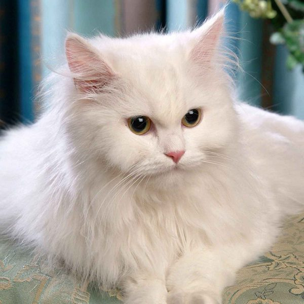 Buy Persian Cat